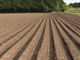 (150424) 新緑あぐり(えびの高原) キャベツ農場4月